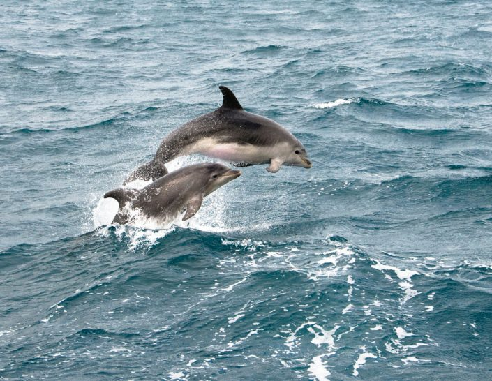 Bucket List Charters - Bay of Islands - Dolphins